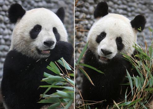 Deux pandas géants sont arrivés en France dans Faits de societe Pandas