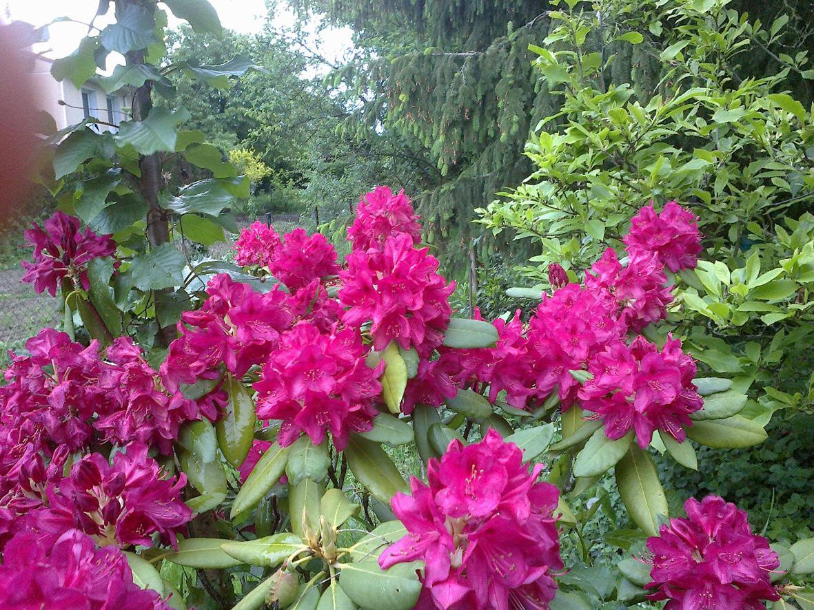 Le rhododendron du jardin en fleurs dans Divers Rhododindrons