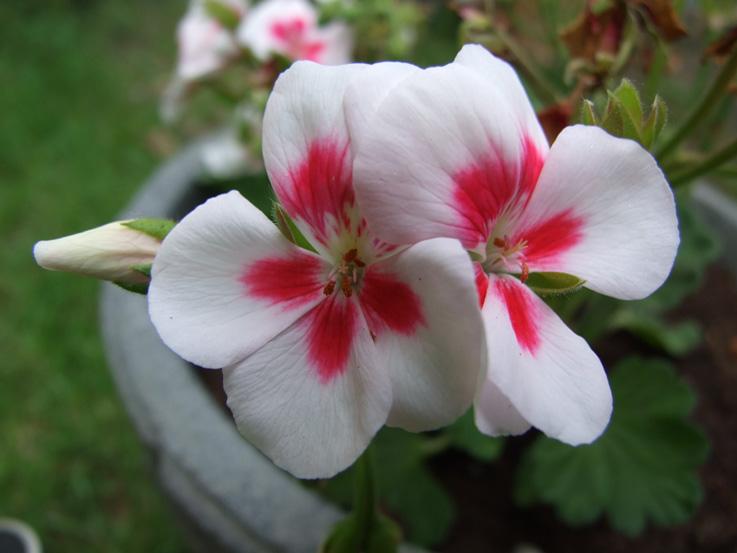 fleur-2-mai-2012 rose