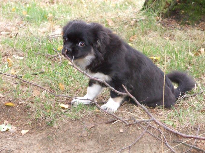 DSCF1258-petit épagneul tibétain dans Photos