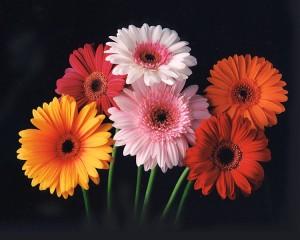 Ma fleur préférée : le gerbéra