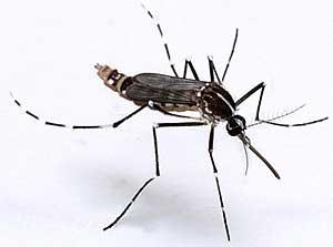 chikungunya bis